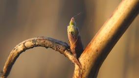 从芽的出生叶子在莓分支 股票录像