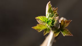 从芽的小板簧在黑背景 图库摄影