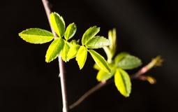 从芽的小板簧在黑背景 免版税库存照片