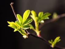 从芽的小板簧在黑背景 库存照片
