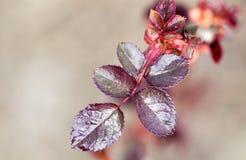 从芽的小红色板簧 库存照片