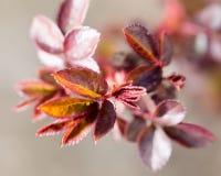 从芽的小红色板簧 免版税库存照片