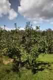 从苹果农场 库存照片