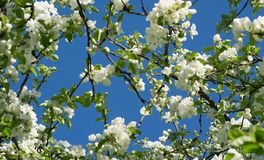 从苹果树分支的背景与白花的在bl 库存图片