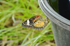 从茧的蝴蝶变形和上升在黑塑料容器准备对飞行在庭院里 库存照片