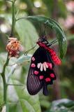 从蛹负担的蝴蝶如此惊奇 免版税库存图片