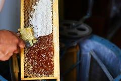 从蜂蜂房被收获的未加工的蜂蜜 开盖与特别养蜂业叉子的蜂农蜂窝 养蜂业概念 库存照片