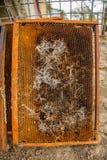 从蜂蜜蜂蜂房的被拣掉的老巢框架与大蜡螟隧道和带子 库存图片