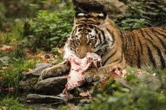 从西伯利亚的一只非常joung老虎拿着肉 免版税图库摄影