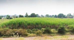 从路旁边看的农村甘蔗农场美丽 免版税库存照片