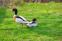 从边的美丽的自然鸭子 库存照片