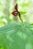 从通配延龄草grandiflorum的花在北卡罗来纳 库存照片