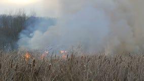 从野火的巨大的烟在森林干草原 燃烧的干草和灌木 从火焰烧的干燥芦苇 股票视频