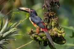 从阿雷纳火山国家公园,哥斯达黎加的抓住衣领口的Aracari 免版税图库摄影