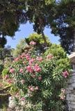 从雅典的开花的夹竹桃灌木在希腊 免版税库存图片