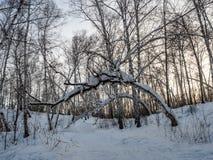 从雪的奇特出现在桦树冬天森林里在俄罗斯 库存照片