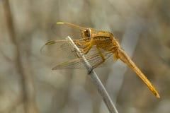 从非洲的一只黄色蜻蜓 免版税图库摄影