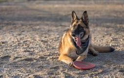 从飞碟的德国牧羊犬狗休假在sa中在 免版税库存照片