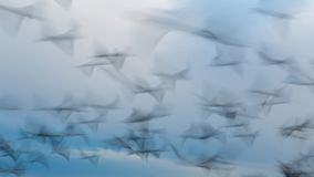 从飞行海鸥的抽象照片,长的曝光图片 库存图片