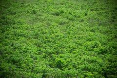 从高尔夫球场的美好的绿草纹理 免版税库存图片