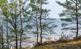 从高银行的看法通过里加湾的杉木在拉脱维亚 库存图片