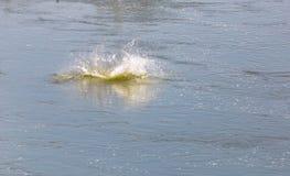从鱼的飞溅水 库存图片