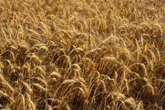从黄色成熟的麦子的领域的背景在落日的光芒的 库存图片