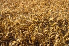 从黄色成熟的麦子的领域的背景在落日的光芒的 免版税库存照片