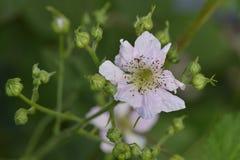 从黑莓的花 图库摄影