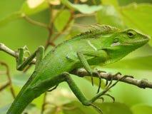 从默拉皮山的Bunglon绿蜥蜴 免版税库存照片
