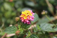 从默拉皮登上的桃红色花 免版税库存照片