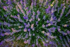 从3上的淡紫色开花的灌木图片 库存图片