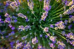 从2上的淡紫色开花的灌木图片 免版税库存照片
