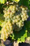 从AOC Maury的白葡萄 免版税库存照片