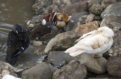 从Caraiman修道院的鸭子 库存图片