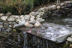 从Caraiman修道院的鸭子 库存照片