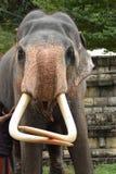 从dalada maligawa康提的斯里兰卡的大象 免版税库存照片