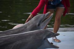 从dolphinarium,巴拉德罗角,古巴的野生海豚 库存照片
