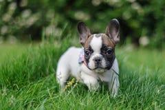 从fron视图的法国牛头犬本质上 与bookeh的照片 库存图片