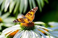 从nymphalides的家庭的一只蝴蝶是海军上将 免版税库存图片