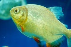 仓鱼作为在水族馆的一条装饰鱼 库存照片