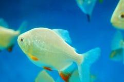 仓鱼作为在水族馆的一条装饰鱼 免版税图库摄影