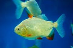 仓鱼作为在水族馆的一条装饰鱼 免版税库存图片