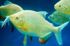 仓鱼作为在水族馆的一条装饰鱼 免版税库存照片