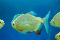 仓鱼作为在水族馆的一条装饰鱼 库存图片