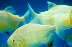 仓鱼作为在水族馆的一条装饰鱼 图库摄影