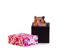 仓鼠一点 免版税库存图片