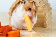 仓鼠特写镜头在它的房子附近吃乳酪 免版税库存照片