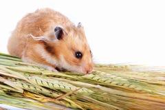 仓鼠用食物 免版税库存照片