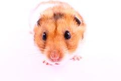 仓鼠 免版税图库摄影